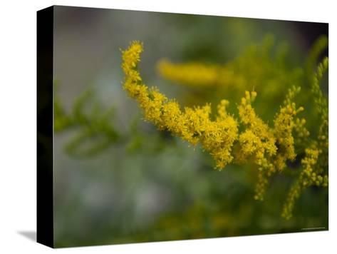 Goldenrod, The Nebraska State Flower-Joel Sartore-Stretched Canvas Print