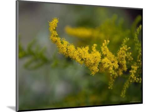 Goldenrod, The Nebraska State Flower-Joel Sartore-Mounted Photographic Print