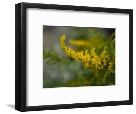 Goldenrod, The Nebraska State Flower-Joel Sartore-Framed Art Print