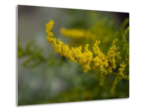 Goldenrod, The Nebraska State Flower-Joel Sartore-Metal Print