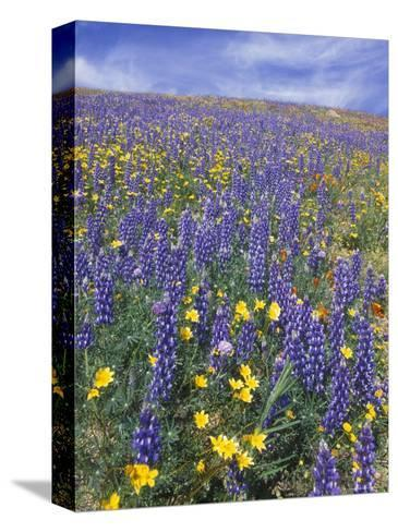 Coreopsis, Gilia, California Poppy and Lupine-Rich Reid-Stretched Canvas Print