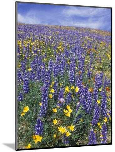 Coreopsis, Gilia, California Poppy and Lupine-Rich Reid-Mounted Photographic Print