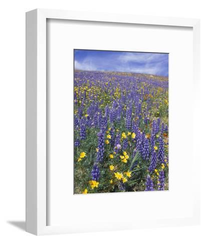 Coreopsis, Gilia, California Poppy and Lupine-Rich Reid-Framed Art Print