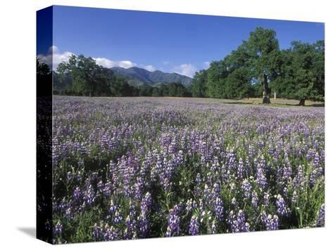 Fields of Lupine and Owl Clover in the Valley Oak Trees near Indians, California-Rich Reid-Stretched Canvas Print