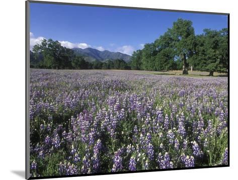 Fields of Lupine and Owl Clover in the Valley Oak Trees near Indians, California-Rich Reid-Mounted Photographic Print