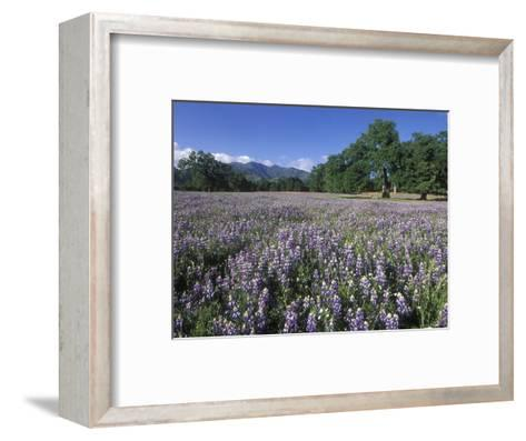 Fields of Lupine and Owl Clover in the Valley Oak Trees near Indians, California-Rich Reid-Framed Art Print