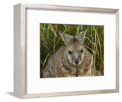 Dama Wallaby at the Sedgwick County Zoo-Joel Sartore-Framed Art Print