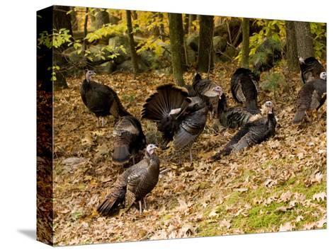 Gaggle of Wild Turkeys, Lexington, Massachusetts-Tim Laman-Stretched Canvas Print