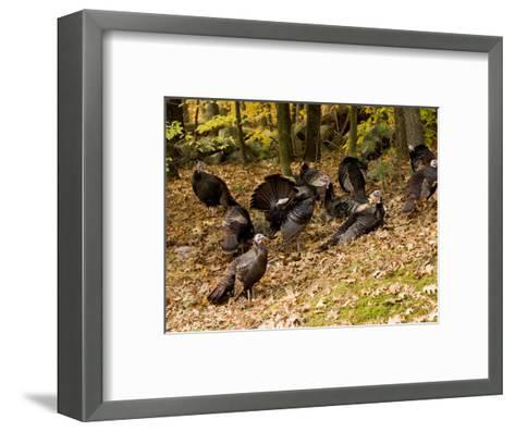 Gaggle of Wild Turkeys, Lexington, Massachusetts-Tim Laman-Framed Art Print
