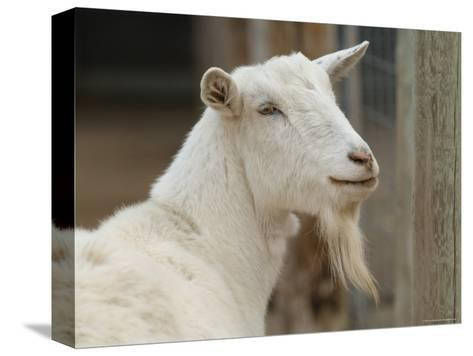 Goat at the Riverside Zoo-Joel Sartore-Stretched Canvas Print