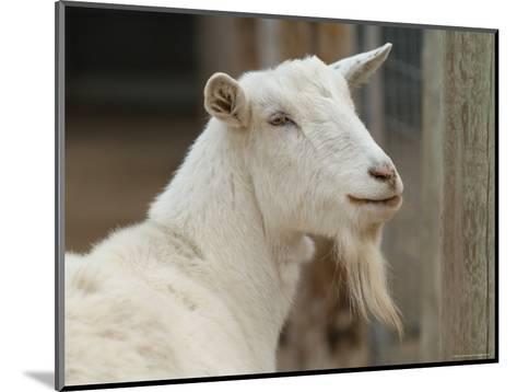 Goat at the Riverside Zoo-Joel Sartore-Mounted Photographic Print