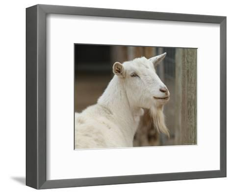 Goat at the Riverside Zoo-Joel Sartore-Framed Art Print