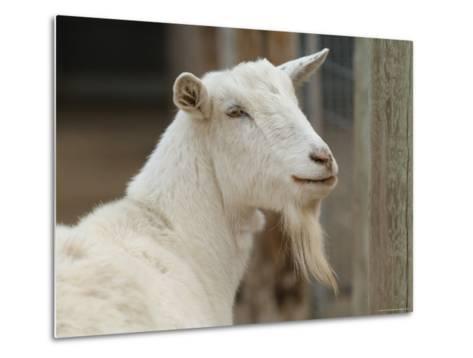 Goat at the Riverside Zoo-Joel Sartore-Metal Print