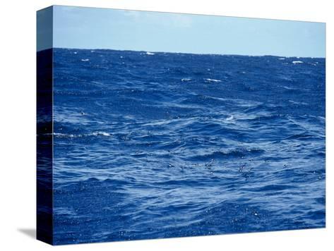 Flock of Wilsons Storm Petrels Feeding on the Ocean Surface, Australia-Jason Edwards-Stretched Canvas Print