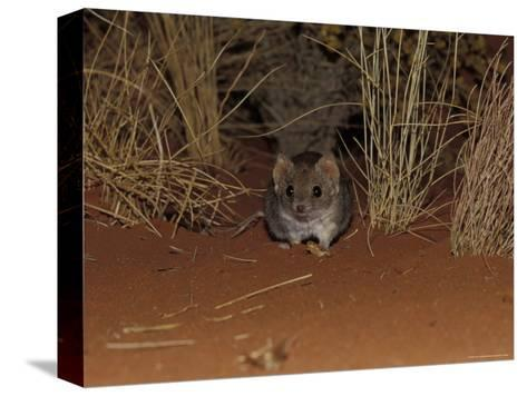 Endangered Mulgara, Ampurta, Hunting in Spinifex Sand Country, Alice Spring Desert Park, Australia-Jason Edwards-Stretched Canvas Print