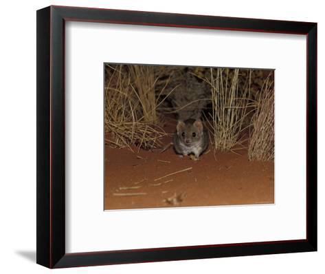 Endangered Mulgara, Ampurta, Hunting in Spinifex Sand Country, Alice Spring Desert Park, Australia-Jason Edwards-Framed Art Print