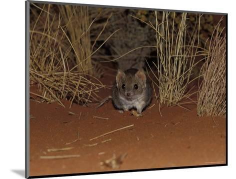 Endangered Mulgara, Ampurta, Hunting in Spinifex Sand Country, Alice Spring Desert Park, Australia-Jason Edwards-Mounted Photographic Print