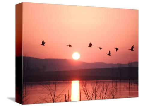 Flock of Canada Geese Flying over a Lake at Sunset, Pennsylvania-Ira Block-Stretched Canvas Print