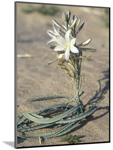 Desert Lily Blooming in the Sand, California-Rich Reid-Mounted Photographic Print