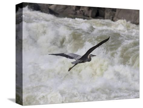 Great Blue Heron Flies over White Water Rapids-Skip Brown-Stretched Canvas Print