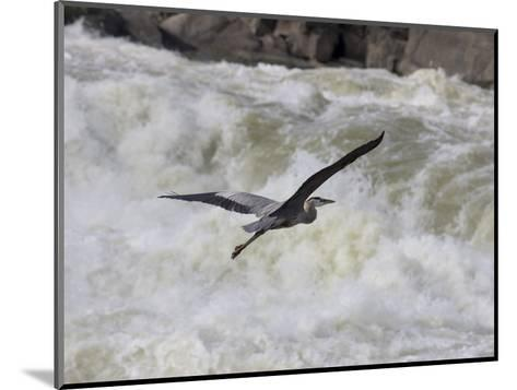 Great Blue Heron Flies over White Water Rapids-Skip Brown-Mounted Photographic Print