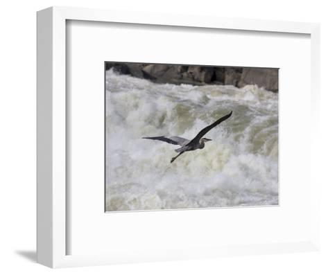 Great Blue Heron Flies over White Water Rapids-Skip Brown-Framed Art Print