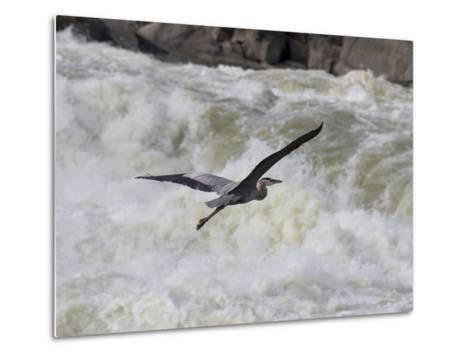 Great Blue Heron Flies over White Water Rapids-Skip Brown-Metal Print