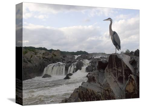 Great Blue Heron on Rock Overlooking Great Falls-Skip Brown-Stretched Canvas Print