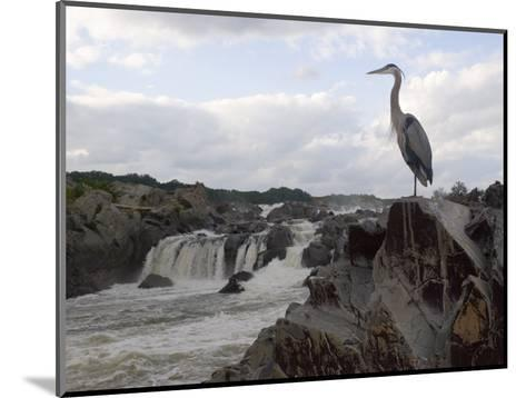 Great Blue Heron on Rock Overlooking Great Falls-Skip Brown-Mounted Photographic Print