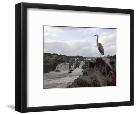 Great Blue Heron on Rock Overlooking Great Falls-Skip Brown-Framed Art Print