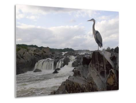 Great Blue Heron on Rock Overlooking Great Falls-Skip Brown-Metal Print