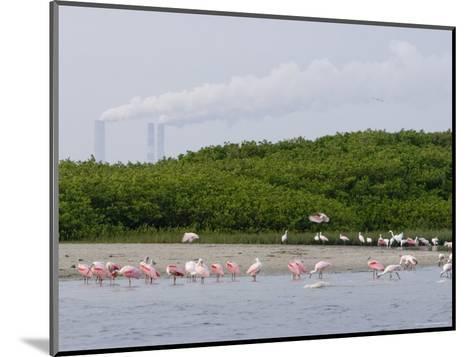 Flock of Juvenile and Adult Roseate Spoonbills, Tampa Bay, Florida-Tim Laman-Mounted Photographic Print