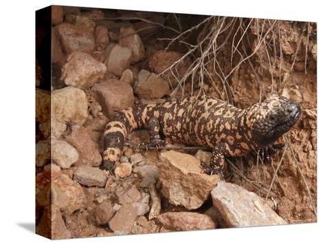 Gila Monster, Heloderma Suspectum, Out on an Evening Forage-George Grall-Stretched Canvas Print