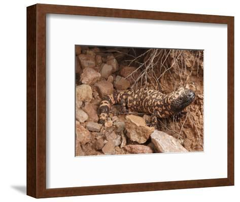 Gila Monster, Heloderma Suspectum, Out on an Evening Forage-George Grall-Framed Art Print
