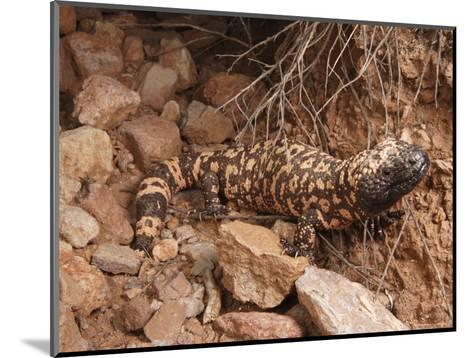 Gila Monster, Heloderma Suspectum, Out on an Evening Forage-George Grall-Mounted Photographic Print