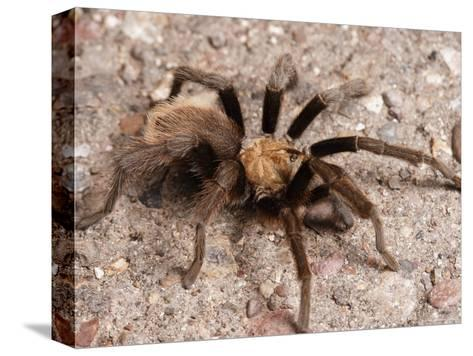 Desert Tarantula Spider Crawling Across a Road-George Grall-Stretched Canvas Print