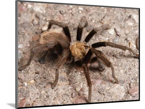 Desert Tarantula Spider Crawling Across a Road-George Grall-Mounted Photographic Print