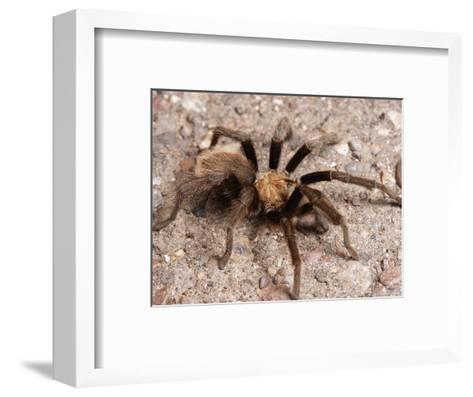 Desert Tarantula Spider Crawling Across a Road-George Grall-Framed Art Print