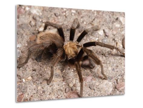 Desert Tarantula Spider Crawling Across a Road-George Grall-Metal Print