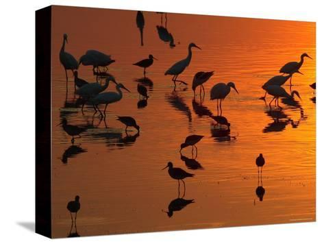 Great Egrets, Yellow Legs, and Snowy Egrets Feed in the Sunset-George Grall-Stretched Canvas Print