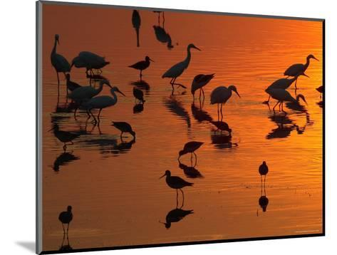 Great Egrets, Yellow Legs, and Snowy Egrets Feed in the Sunset-George Grall-Mounted Photographic Print