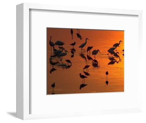 Great Egrets, Yellow Legs, and Snowy Egrets Feed in the Sunset-George Grall-Framed Art Print