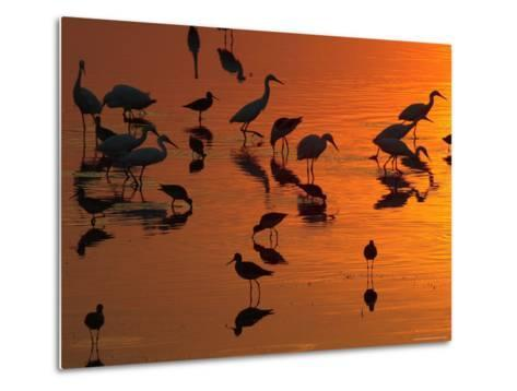 Great Egrets, Yellow Legs, and Snowy Egrets Feed in the Sunset-George Grall-Metal Print