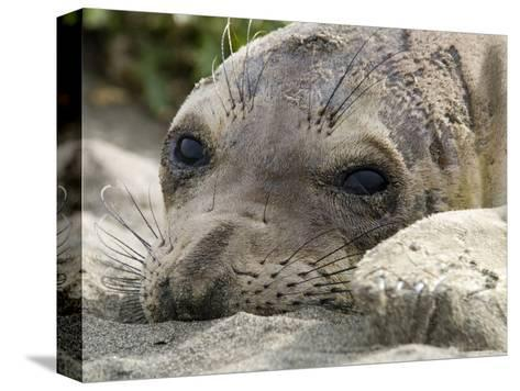 Elephant Seal Relaxing on the Beach, California-Rich Reid-Stretched Canvas Print