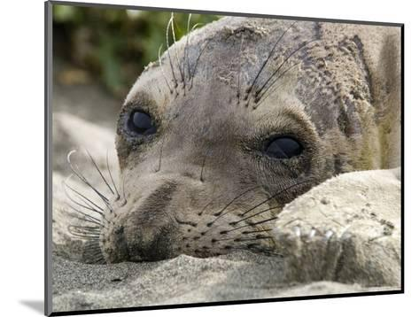 Elephant Seal Relaxing on the Beach, California-Rich Reid-Mounted Photographic Print