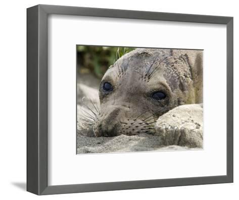 Elephant Seal Relaxing on the Beach, California-Rich Reid-Framed Art Print