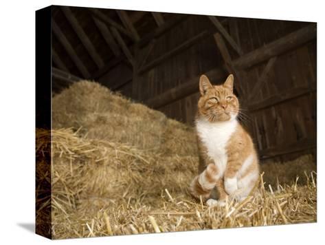 Farm Cat Sitting on a Bale of Straw, Massachusetts-Tim Laman-Stretched Canvas Print