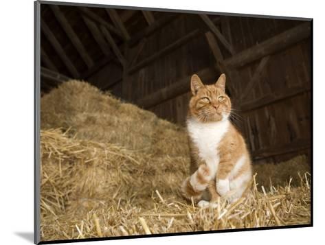 Farm Cat Sitting on a Bale of Straw, Massachusetts-Tim Laman-Mounted Photographic Print