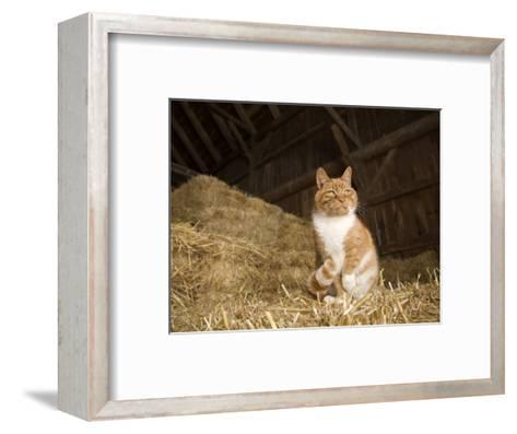 Farm Cat Sitting on a Bale of Straw, Massachusetts-Tim Laman-Framed Art Print