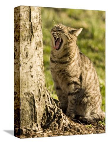 Domestic Cat Yawning by a Tree, Pennsylvania-Tim Laman-Stretched Canvas Print